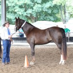 Fox Brush Custom Design CH Funquest Eric x Bowood Elusiv Dream GCH)wearing her AMHA First place ribbon for Training level dressage.