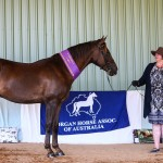 Omar Free and Eezy Supreme Champion Pure Morgan and Champion Gelding