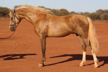 Reserve-Champion-Pure-Stallion-Mountain-Creek-Cartier-(MEMC-Tequila-Cuervo-_-Mountain-Crk-Helena)