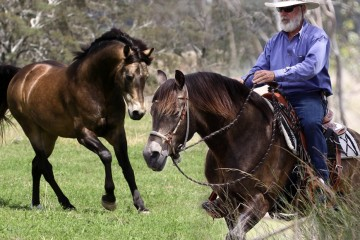 RanchBoss Cortez (Wilga Park Morgans) Queensland