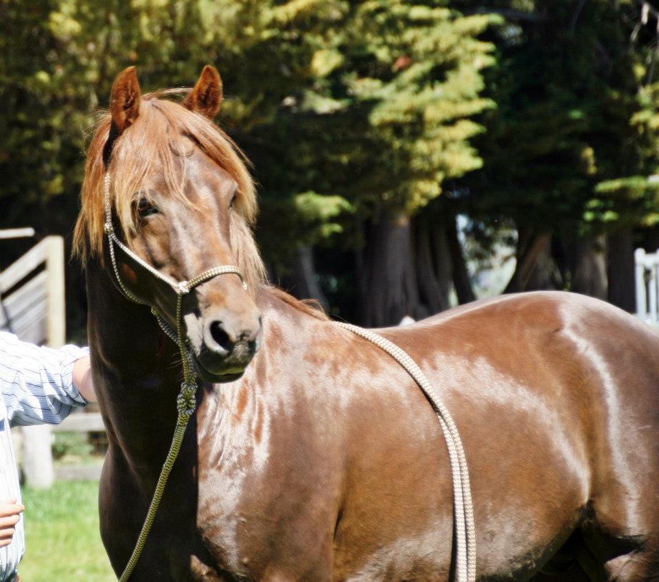 Mt Tawonga Cavalier (Island Performance horses) Victoria
