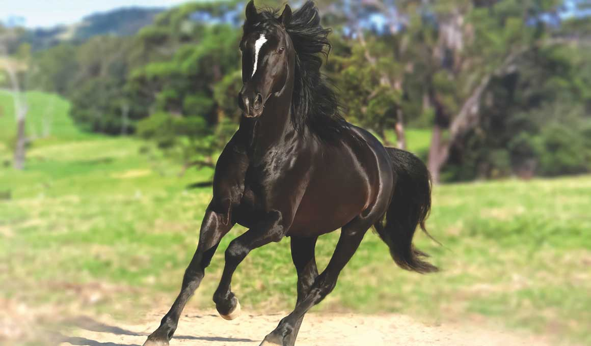 Weemala Fortune Cookie (Weemala Stud) New South Wales