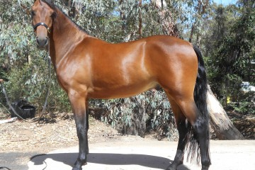 Champion-Pure-Bred-Gelding-Red-Bluff-Evoke-(Justin-Morning-Glory-_-Mt-Tawonga-Evonne)