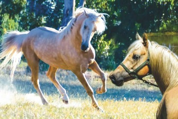 Crystanby Aqarian (Crystanby Stud) South Australia