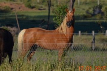 Haymeron Park Merlin Hawk (Warrabel Stud) Queensland
