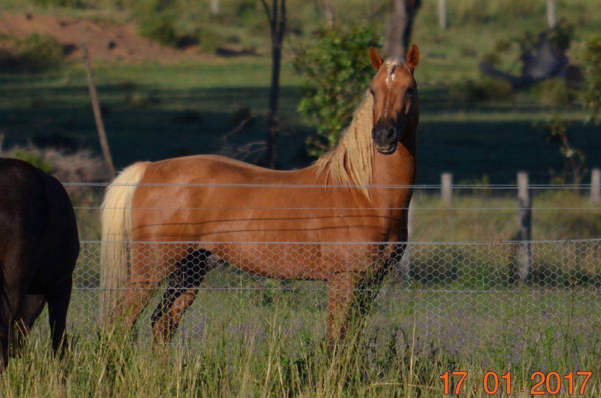 Haymeron Park Merlin Hawk (Warrabel Stud) Queensland
