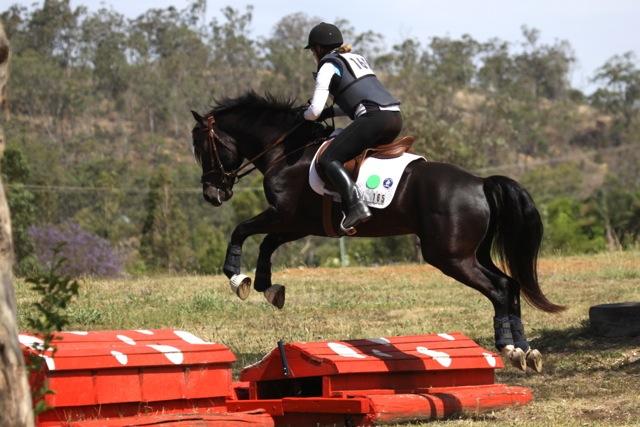 Morgan pony stallion