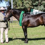 Leambro Somelikeithot with Stephan Smith Reserve Champion Entire in Hand