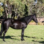 Moonbah Wild Card and Arnie Harvey Reserve Champion Pure Mare in hand