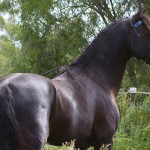 Most Studley Stallion Killara Lodge Oops