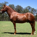 Pure stallion