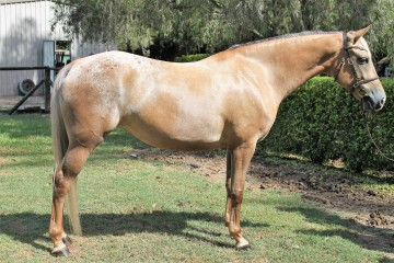 Reserve-Champion-Part-Bred-Mare-Genesis-Moon-Dancer-(Wirraway-Johnny-Walker-_-Miss-Mighty-Exclusive)
