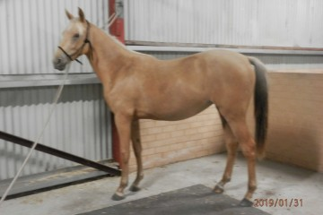 Reserve-Champion-Part-Bred-Youngster-Challa-Gold-Rush-(ASH-_-Greenstone-Giaginye)