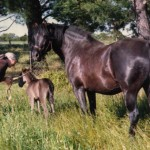 Saddleback Sundance & Aura Dell Princess as foal