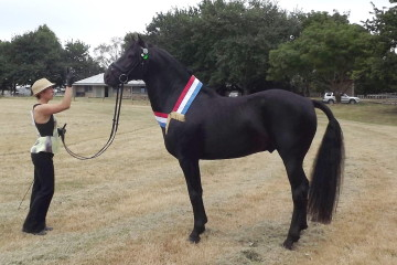 Champion Led Stallion Shibui All Black and Gillian Wooldridge