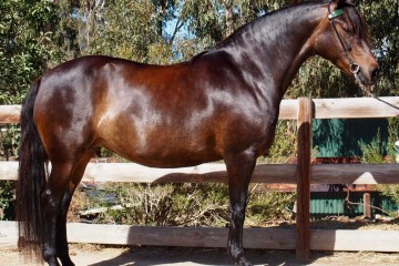 Supreme-Pure-Champion-Mare-Fernleigh-Creek-Madralena-Mt-Tawonga-King-Fernleigh-Creek-Nena