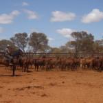Tandarra Millennium Challa cattlework (1)