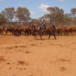 Tandarra Millennium Challa cattlework (3)