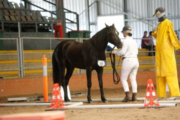 Wilga Park Gypsy Lass Reserve Champion Pure Mare and second in In Hand Challenge Course