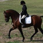 purebred stallion ridden 1v3